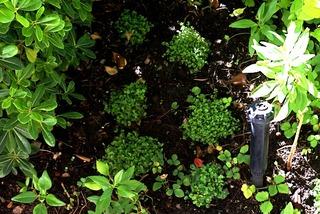 Helxines nouvellement plantées
