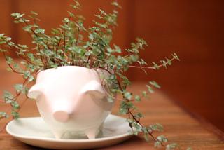 Helxine en pot cultivée à l'intérieur