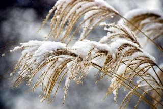 Miscanthus l'hiver