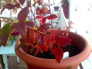Myrtillier en pot, en automne