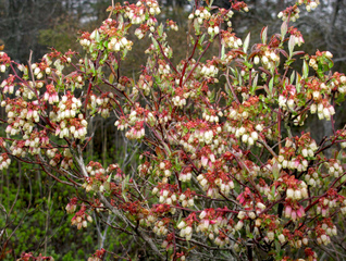 Myrtillier en fleurs - Vaccinium corymbosum