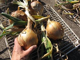 Récolte d'oignons jaunes - Séchage