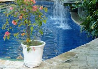 Bougainvillier en pot au bord de la piscine