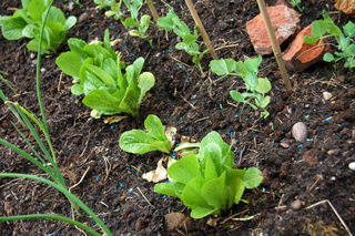 Potager - Jeunes plants (oignon, laitue, pois)