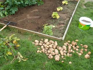 Récolte de pommes de terre au potager