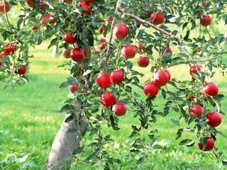Pommier couvert de pommes