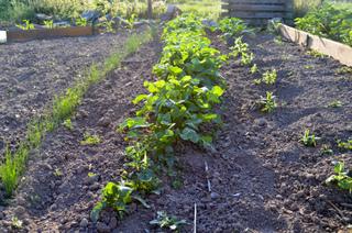 Ligne de radis au potager