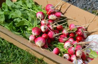 Chaud frais tout - Quand cueillir les radis ...