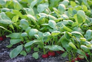 comment planter radis
