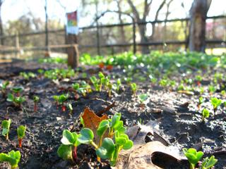 Semis de radis au potager