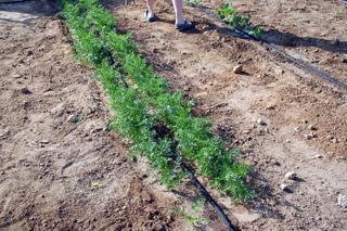 Rang de carottes
