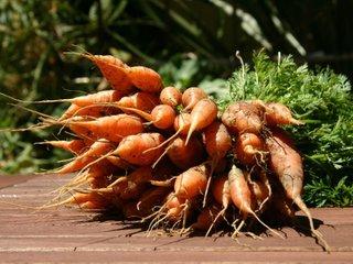 Carotte : semis et conseils de culture