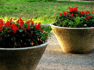 Salvia splendens en vasque