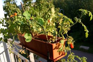 Tomates et capucines - Jardinière de balcon