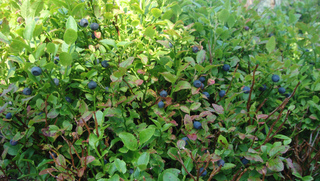 Vaccinium myrtillus - Myrtillier sauvage