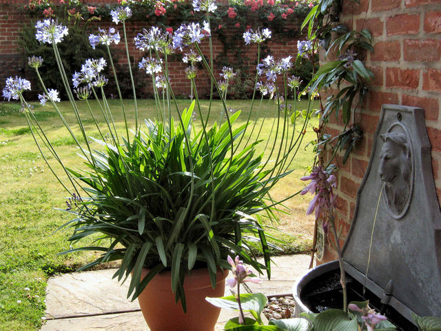 Agapanthe des fleurs bleues foison for Plante pour bordure plein soleil