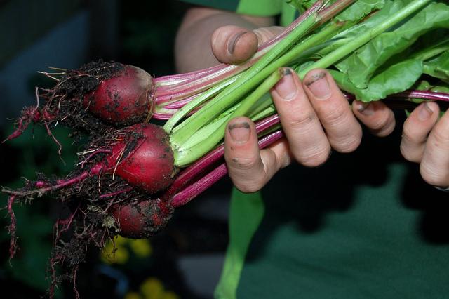 Betterave semis culture et r colte - Conservation des betteraves rouges ...