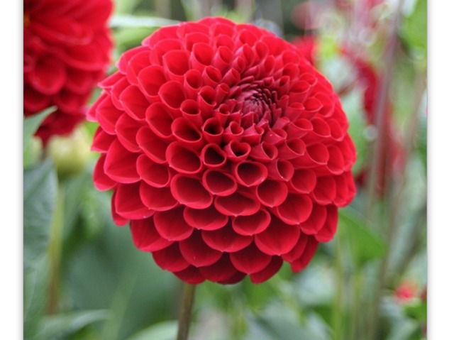 dahlias : les différentes formes de fleurs