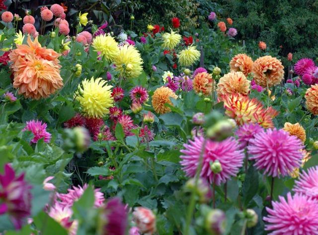 Dahlias les diff rentes formes de fleurs for Tous les plantes