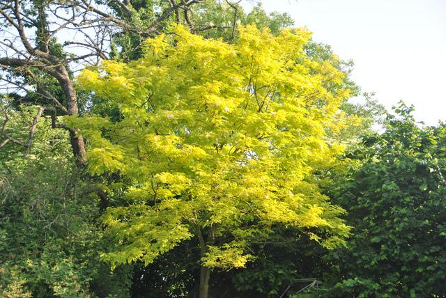 Feuillages jaunes et dor s for Arbre feuillage persistant pour petit jardin
