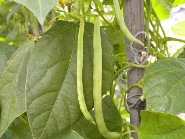 Haricots grimpants : semis, culture et récolte