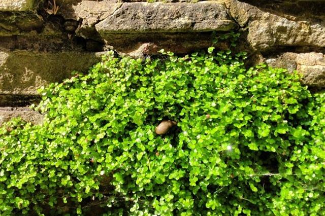 Helxine ou h lixine - Couvre sol jardin japonais ...