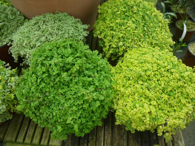 Helxine ou h lixine for Petites plantes vertes