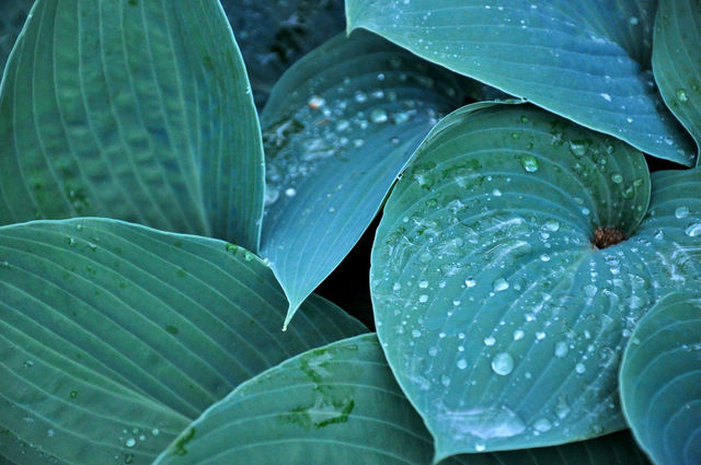 Hosta 'Blue Angel' (Hosta : le roi des feuillages)