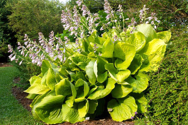 Hosta 'Sum and Substance' (Hosta : le roi des feuillages)