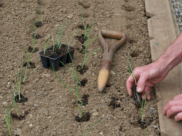 quand planter oignon rouge