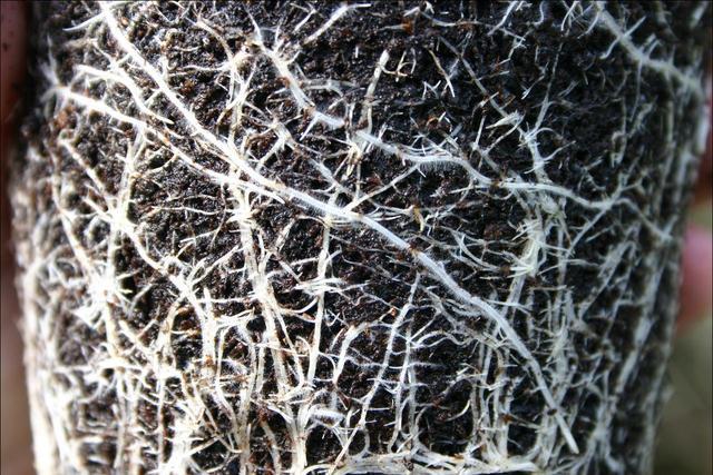 Mycorhization : quelles plantes, quand, comment ?