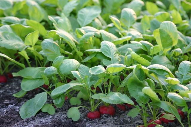 Le semis des radis
