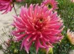Dahlia cactus incurvé 'Chunhong'