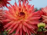 Dahlia cactus rayonnant 'Java'