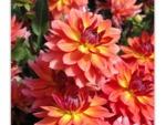 Dahlia décoratif nain 'Tricolor'