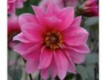 Dahlia à fleur de pivoine 'Fascination'