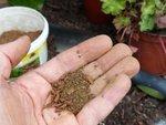 Mycorhizer les plantes : lesquelles, quand, comment ?