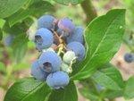 Myrtillier : plantation, culture et récolte