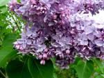 Diaporama : Lilas : le parfum du printemps