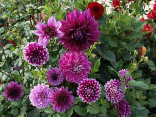 Dahlias roses et violets