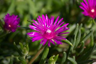 Delosperma cooperi - Pourpier à fleurs vivace