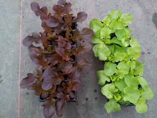 Jeunes plants de laitues feuille de chêne rouge et blonde