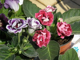 Gloxinia (Sinningia speciosa) : variétés