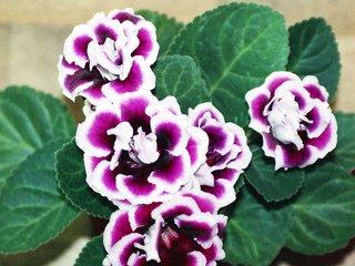 Gloxinia speciosa à fleurs doubles