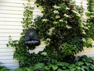 Hortensia grimpant sur un mur