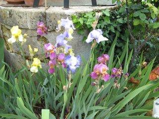 Plate-bande d'iris