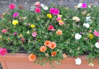 Pourpier d'ornement en jardinière