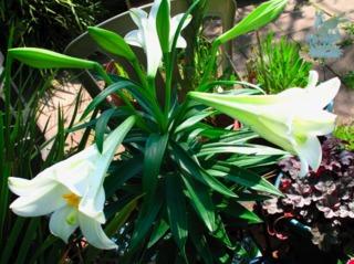 Lys de la Madone cultivé en pot