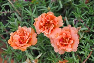 Portulaca grandiflora - Variété à fleurs doubles