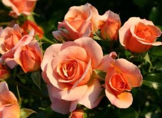 Rosiers Sans Contrainte® Kordes : faciles à vivre et florifères !